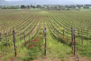 Early Spring for the Syrah and the Petit Verdot